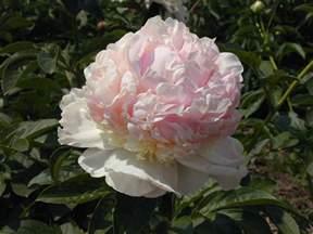 types of peony flowers
