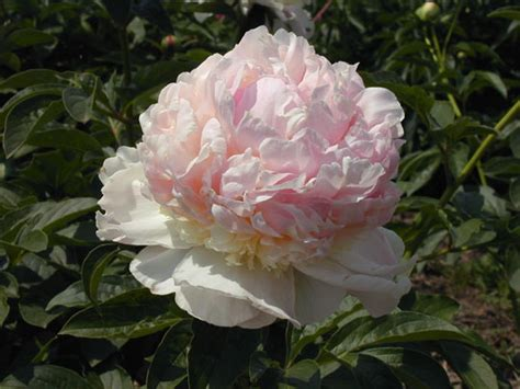 types of peony flowers