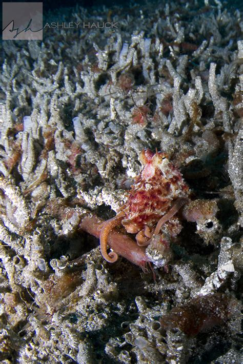 how do octopus change color when the octopus isn t cephalopod camouflage in