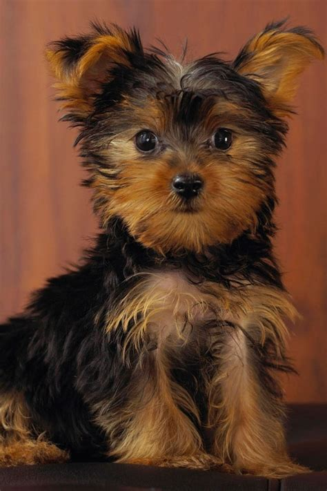 light brown teacup yorkie light brown and brown adorable animals chewbacca