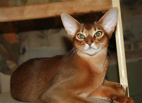 Abyssinian cat: sunlight and star shimmering   Pets Wiki