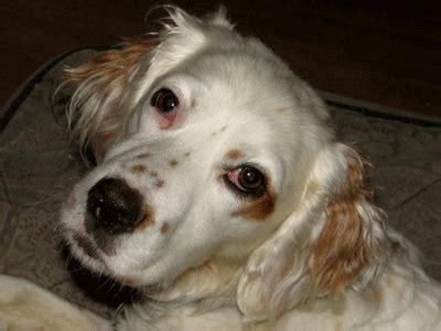 english setter dog adoption adopt a dog month another chance for english setters we