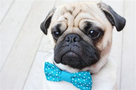 pug suit 1000 ideas about pug costume on pet costumes pugs and pug puppies