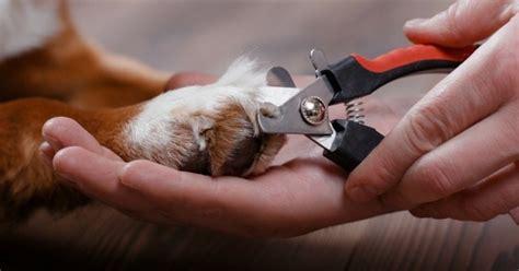 prix pour couper les ongles d un chien comment couper les griffes du chien toilettage du chien