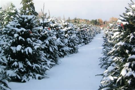 best christmas tree farm applehill prices medina tree farms