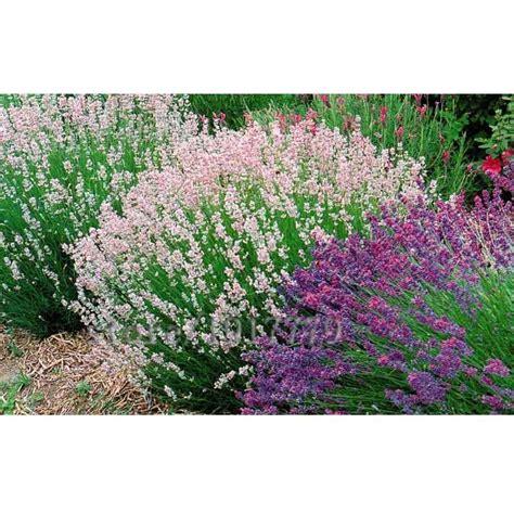 Harga Bibit Bunga Lavender jual victory seed bunga lavender mix benih tanaman 15
