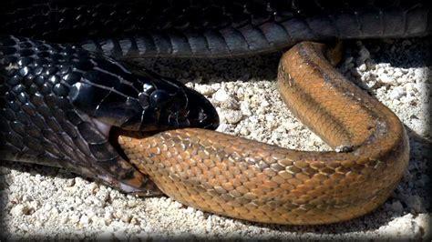vs snake indigo snake eats rat snake 01 snake vs snake