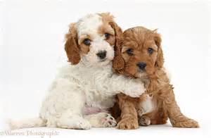 Puppy S At Home by Dogs Cavapoo Puppies Hugging Photo Wp39185