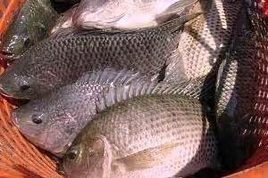 Ton Pt Nasa teknis budidaya ikan nila dengan teknologi organik nasa