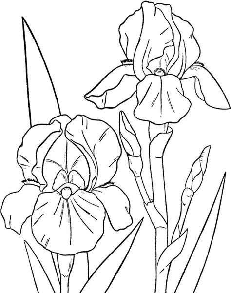 coloring pages of iris flowers 874 best iris images on pinterest flowers painting and