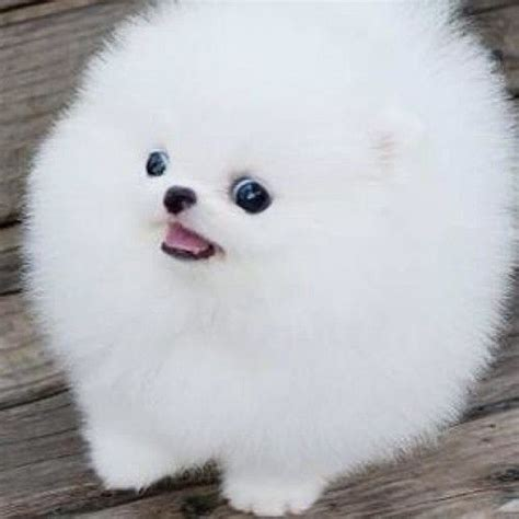 white pomeranian names adopt a live fuzzball name will be frosty the snowoman list
