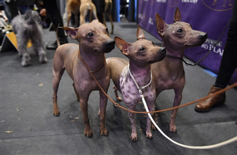 westminster kennel club show 2017 spo westminster kennel club show meet the breeds
