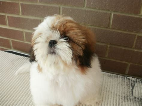 large shih tzu dogs shih tzu puppy kc reg folkestone kent pets4homes