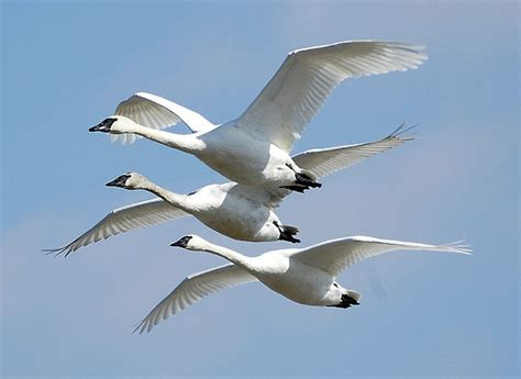migratory birds facts for kids wild life nature 171 kinooze