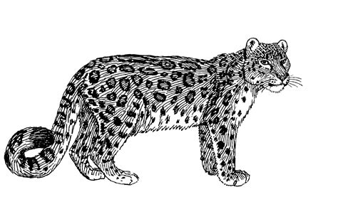 domain leopard image the graphics snow leopard illustration clipart free stock photo