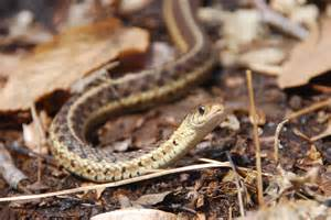 Garter Snake Loantaka Brook Wood Frogs Nature Into