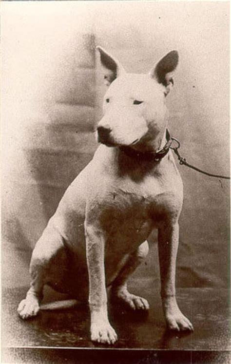 Bull-Terrier 1900 | blame1 | Flickr