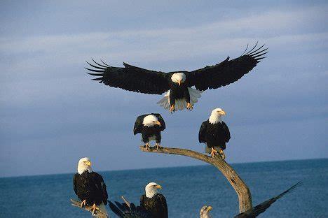 the calling a novel the inn at eagle hill books eagles alex s animals