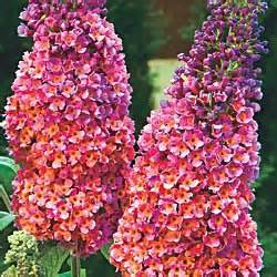 multi colored butterfly bush bicolor butterfly bush i so want one of these bushes