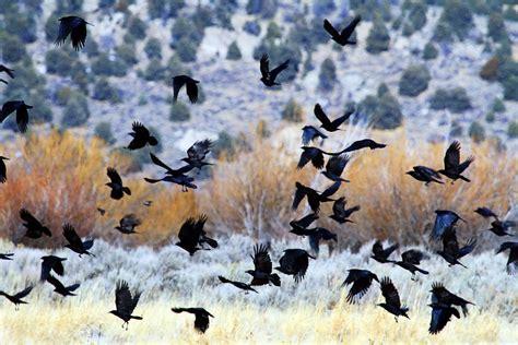 Backyard Bird Count A Funeral For Crows Audubon