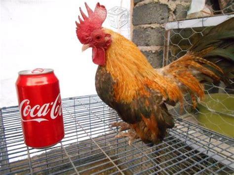gallos en venta venta de gallos gallina related keywords venta de gallos