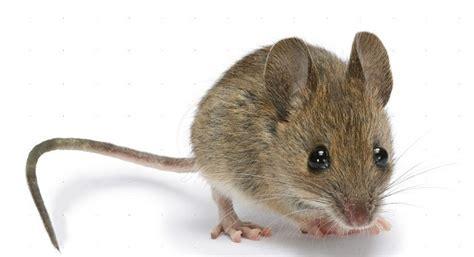 membuat perangkap tikus rumahan kenali gejala dan pengendalian hama tikus kabartani