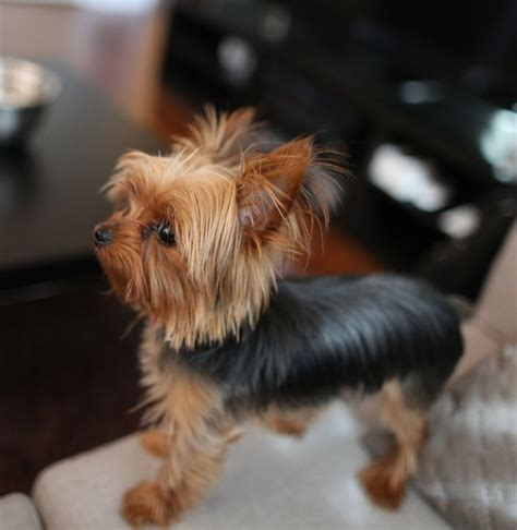 different hair cuts for toy yorkies different cuts for teacup yorkshire terrier yahoo search