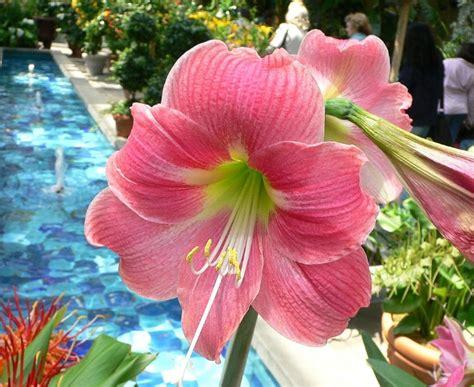 menanam bunga amarilis bibitbungacom