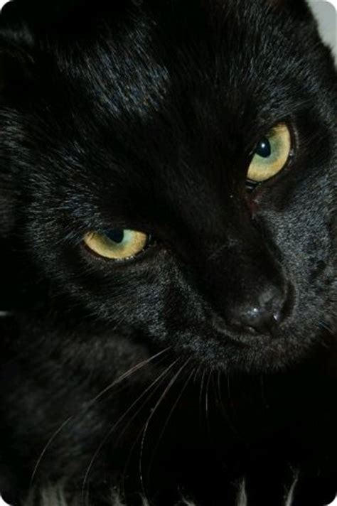 imagenes en negro de gatos 5 maravillosas fotos de gatos negros gatos dom 233 sticos