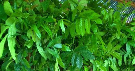 Bibit Sengon Kediri bibit tanaman murah jual pohon mahoni di kediri