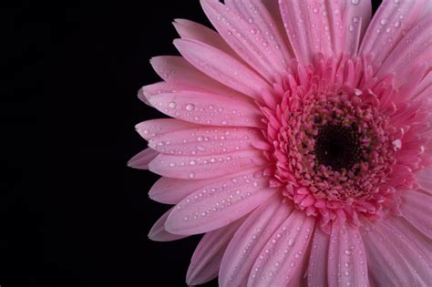 Blumen Pflanzen 1112 by Frische Lila Blume Auf Schwarzem Hintergrund