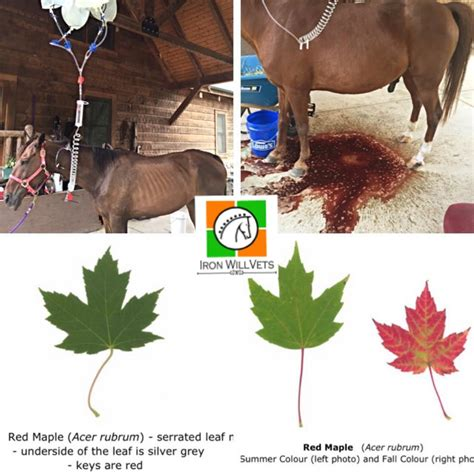 maple tree and horses danger of maple toxicity in horses the horseaholic