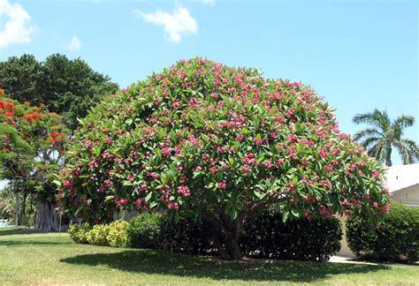 plumeria tree florida plumeria trees the exotic plumeria