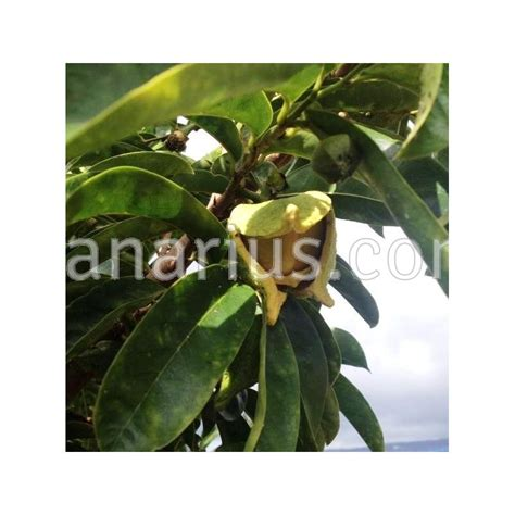 g fruit guanabana comprar annona muricata soursop guanabana graviola en