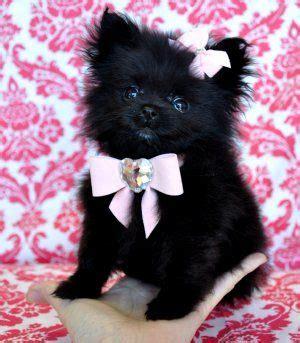 pomeranian collars 17 best ideas about black pomeranian puppies on teacup pomeranian puppy