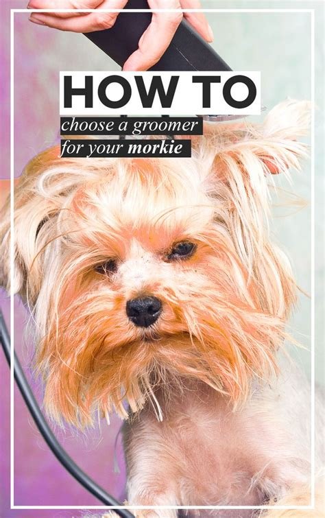 how to groom a morkie 1000 images about morkie dogs on pinterest stains