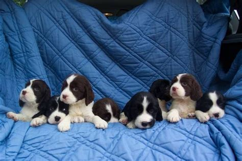 spaniel puppies for adoption adorable springer spaniel puppies for sale adoption from barrie ontario