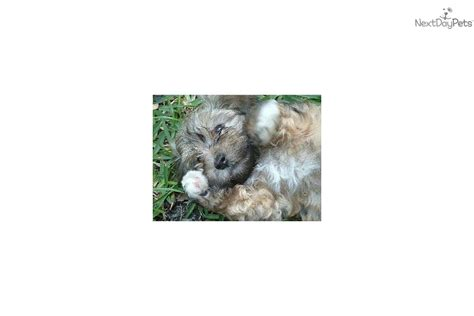 coco cabana havanese puppies for sale from coco cabana havanese nextdaypets