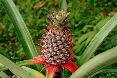 pineapple wikipedia