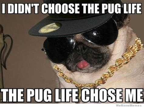 i didn t choose the pug i didn t choose the pug weknowmemes