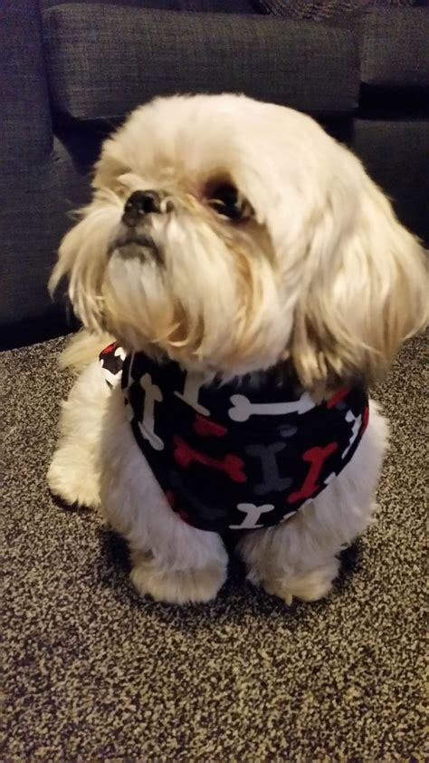 shih tzu age stud white shih tzu age 4 oldham greater manchester pets4homes