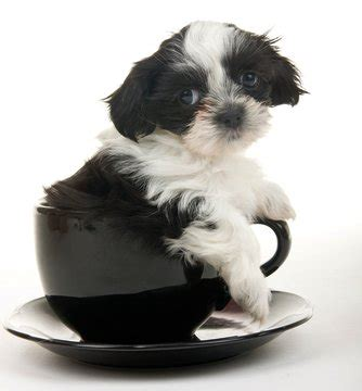 teacup puppy breeds 15 best teacup breeds and what you must about them