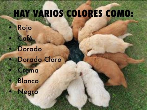 golden retriever colores dorado claro golden retriever by