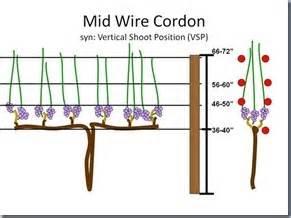 top wire cordon trellis winter 2012 trellis systems pruning cotone vineyards