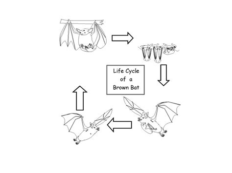 life cycle of a bat science showme