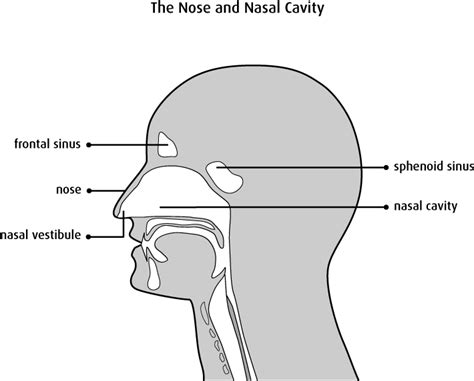 sinus passages diagram what is nasal cavity and paranasal sinus cancer
