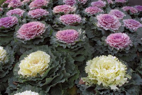 cabbage ornamental mix 5 easy ways to create a stunning vegetable garden