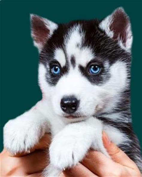 pomeranian husky for sale australia best 25 pomsky puppies for sale ideas on