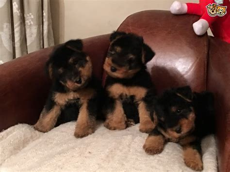 puppies for sale in new york terrier puppies for sale new york ny 203687