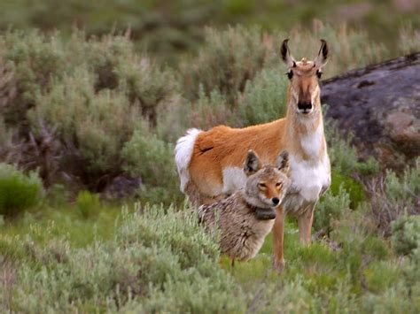 yellowstone national park animal photo yellowstone national park animals
